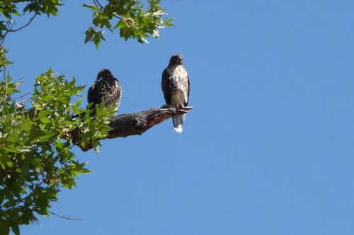 1red-tailed hawks jennifer dayrell livermore