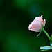 A Rose by soft_eye