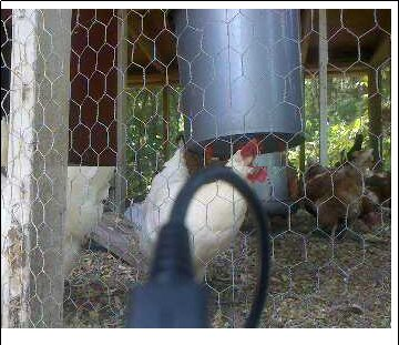 chicken-cam