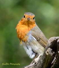 Robin Frontal 2