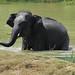 Asian Elephant (Gerald Broddelez)