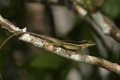 Anolis pulchellus