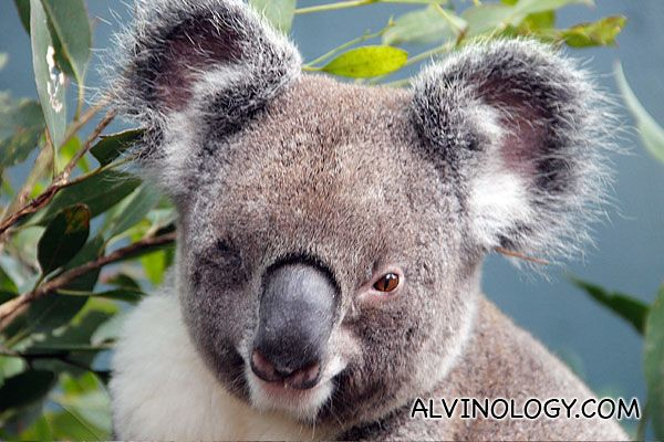 Close-up of the a koala's face