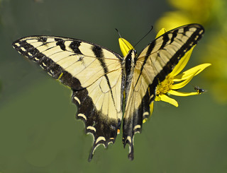 Swallowtail and Friend