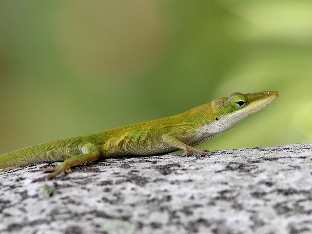 Green Anole 2-20120804