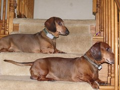 Dual Dachshunds by Teckelcar