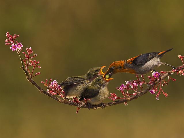Burung Cabe Cabean - Male