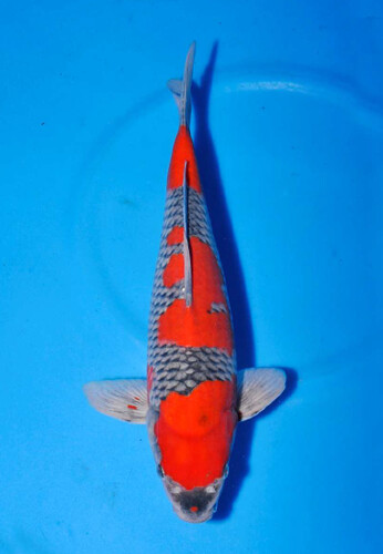 Marushu Male Goshiki 3 jaar 40cm