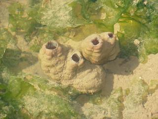 Ascidias japonesas