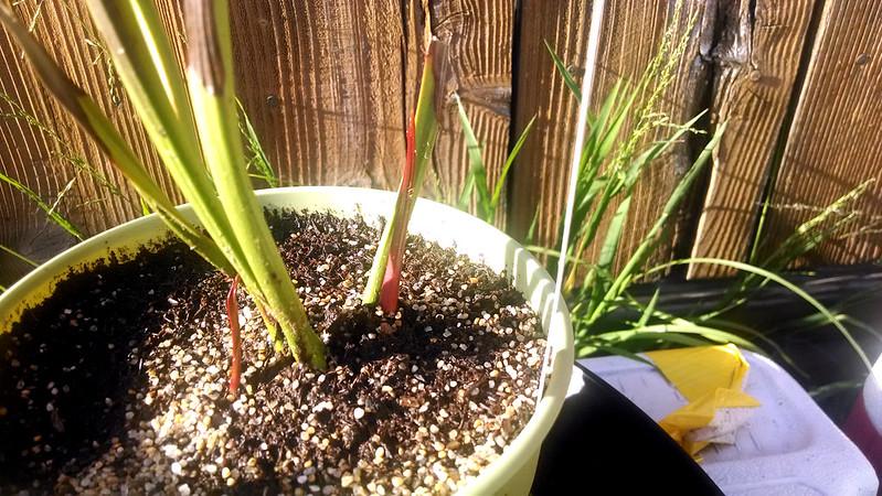 Sarracenia leucophylla breaking dormancy.