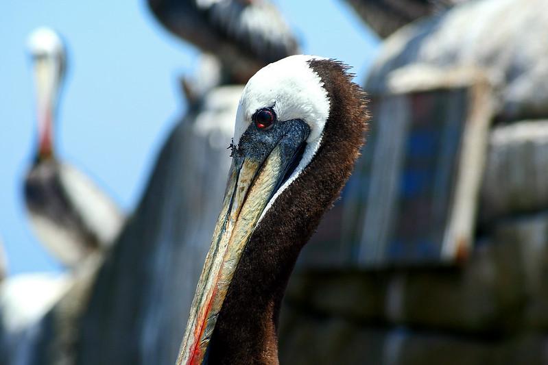 Pelicano (VII) / Pelican (VII)