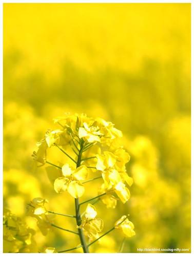 Field mustard $06