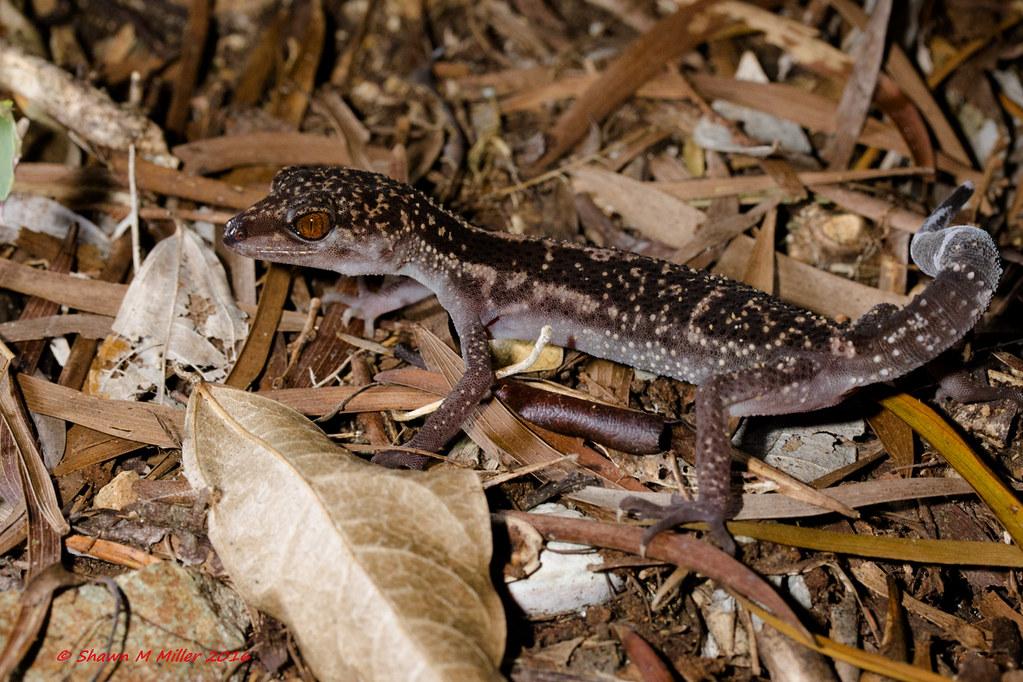 Juvenile Kuroiwa's Ground Gecko, Yanbaru