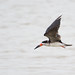 """miTsu-llaneous has added a photo to the pool:Often referred to as """"tern-like"""", the Black Skimmer is a very unique bird. Its large red and black bill is knife-thin and the lower mandible is longer than the upper. The bird drags the lower bill through the water as it flies along, hoping to catch small fish."""