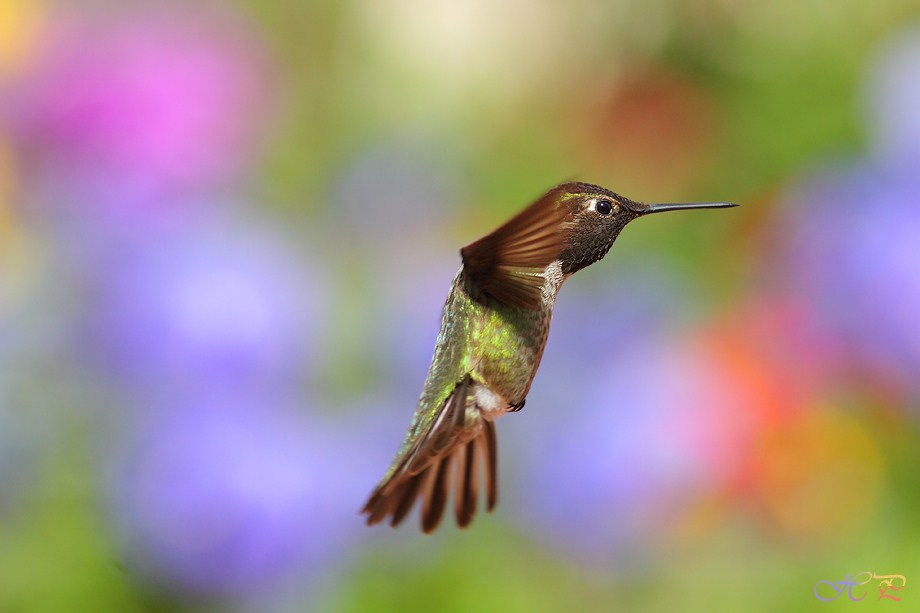 Anna's Hummingbird 032012