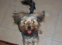 australian terrier(0.0), dog breed(1.0), animal(1.0), dog(1.0), schnoodle(1.0), pet(1.0), australian silky terrier(1.0), glen of imaal terrier(1.0), biewer terrier(1.0), morkie(1.0), cairn terrier(1.0), carnivoran(1.0), yorkshire terrier(1.0), terrier(1.0),