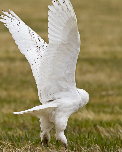 Snowy Owl Launching