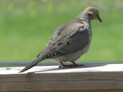 sparrow(0.0), finch(0.0), emberizidae(0.0), animal(1.0), perching bird(1.0), wing(1.0), fauna(1.0), beak(1.0), stock dove(1.0), bird(1.0), wildlife(1.0),