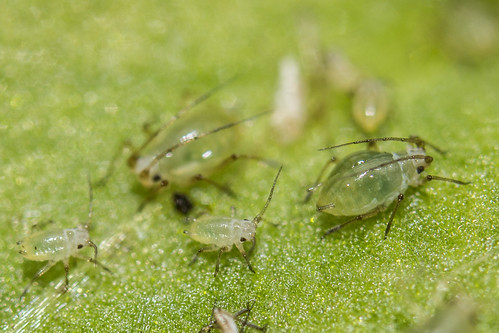 Aphids on a Family Trip