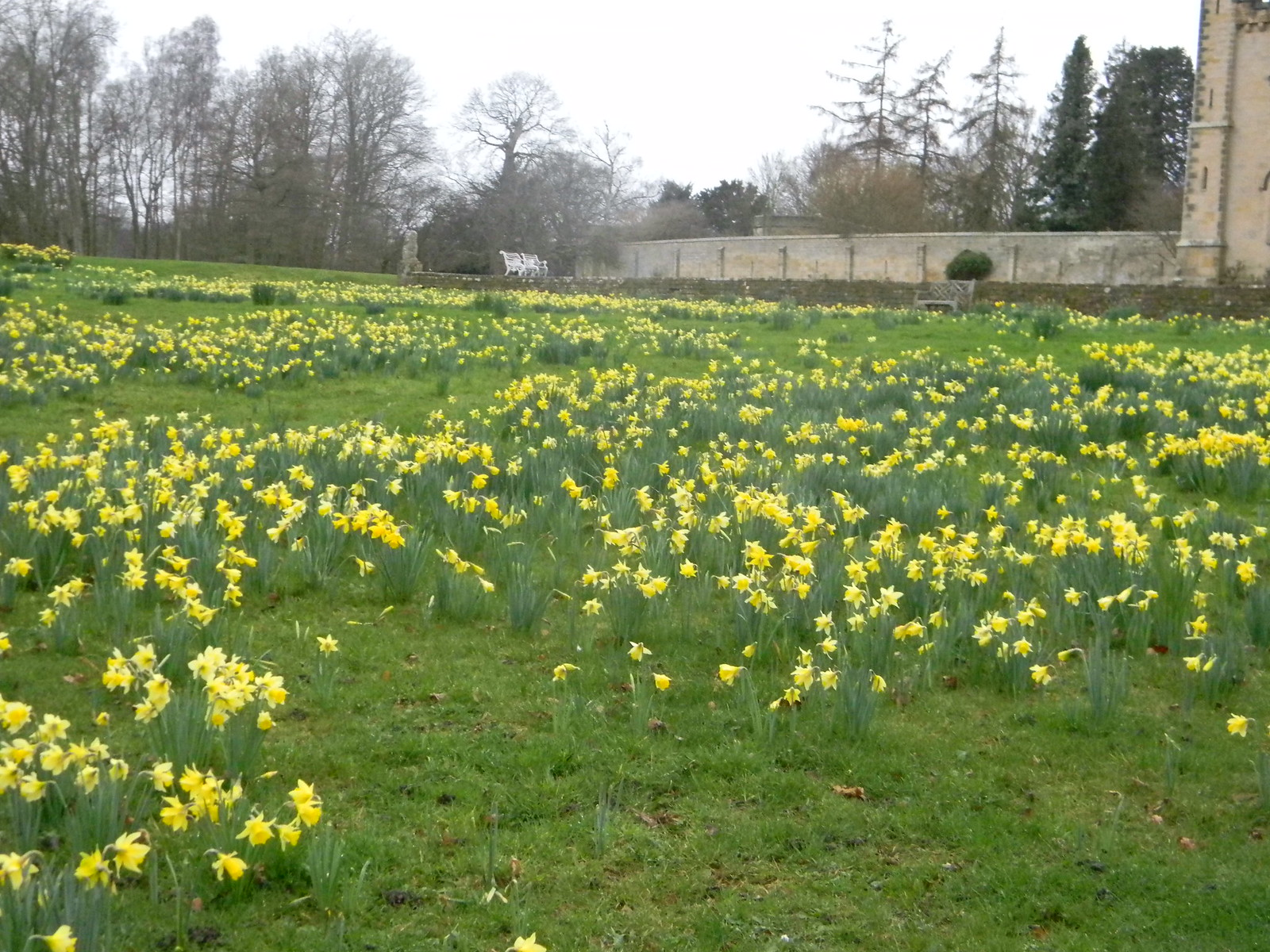 Daffs, Chiddingstone Castle Cowden to Hever