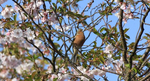 Chaffinch And Spring Blossom