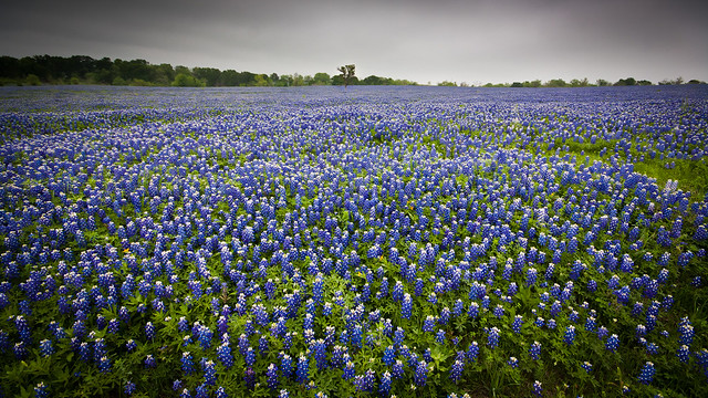 Texas Bluebonnets Flickr Photo Sharing