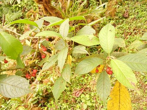 Siparuna thecaphora ( Siparunaceae ) by elprofedebiolo