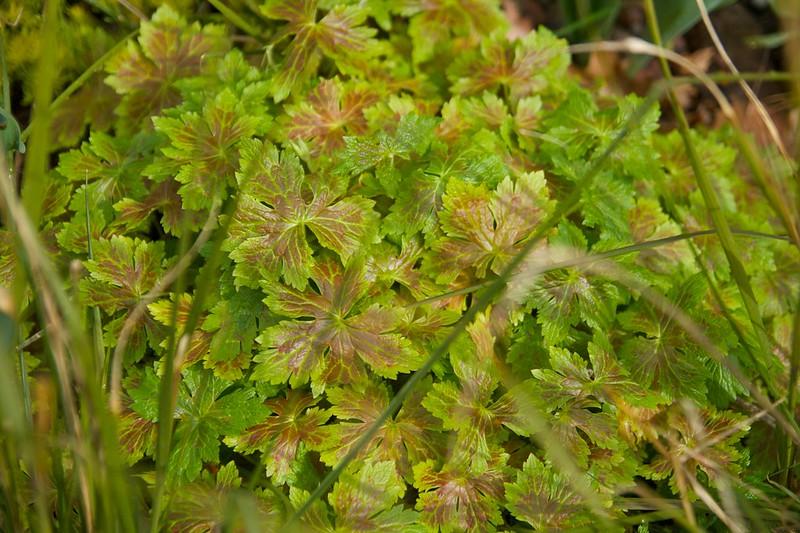Geranium katherine adele  1460