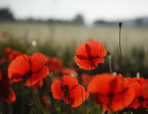 [フリー画像素材] 花・植物, ヒナゲシ ID:201207060600