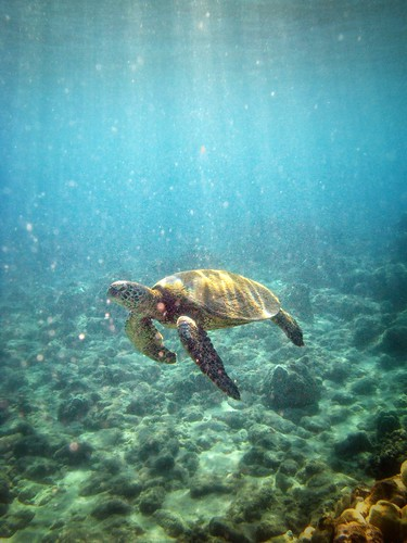 sea nature coral hawaii coast underwater turtle reptile hi reef greenseaturtle hapuna