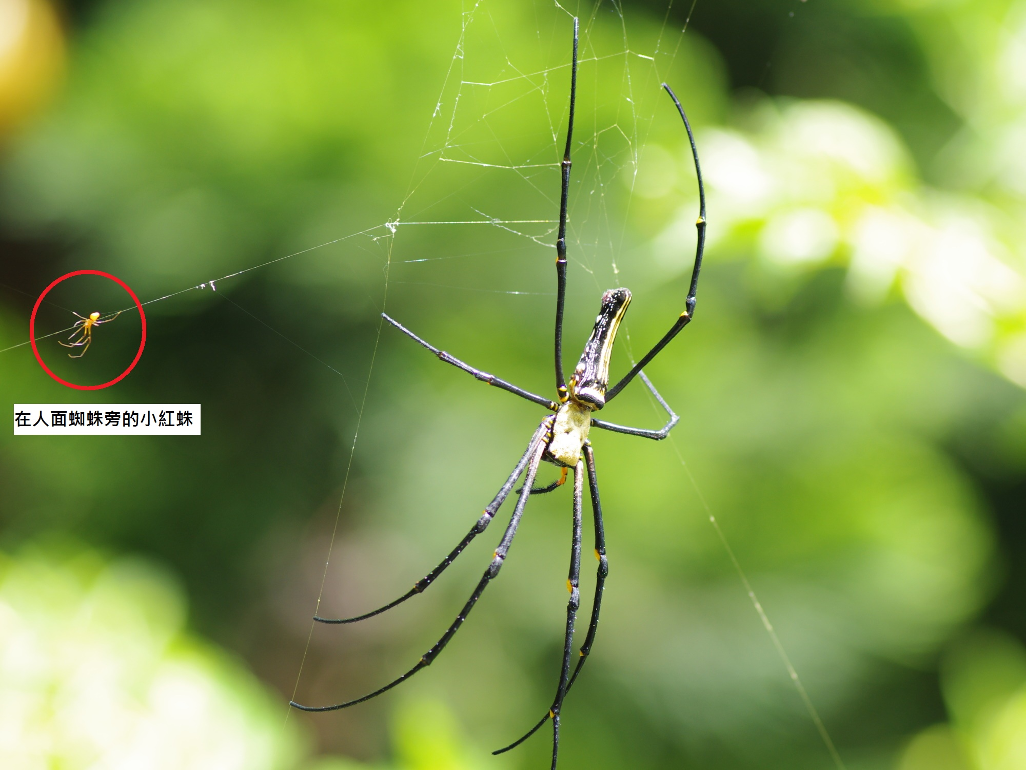 圖一:人面蜘蛛旁有一隻紅色小型蜘蛛。