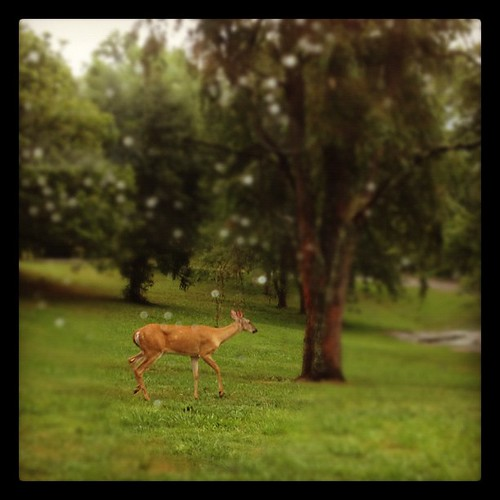 This doe came shambling through the yard while I drove into my driveway.
