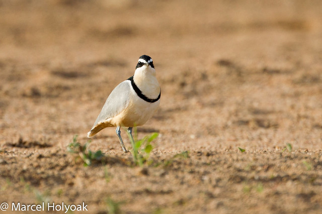 nile crocodile and egyptian plover symbiotic relationship examples