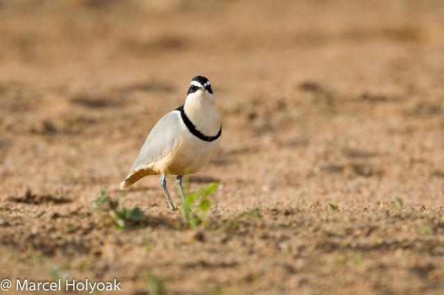 Egyptian plover bird and crocodile - photo#17