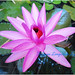 Lotus_5
