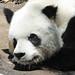 Small photo of Giant Panda (Ailuropoda melanoleuca) sleeping