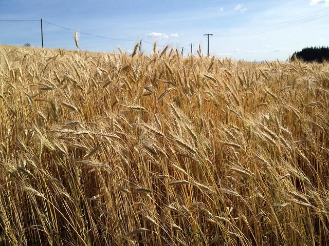 barley fields by nitrok - photo #46