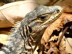 Iguanes - Costa Rica