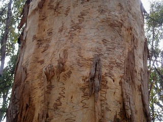 Scribbly Gum