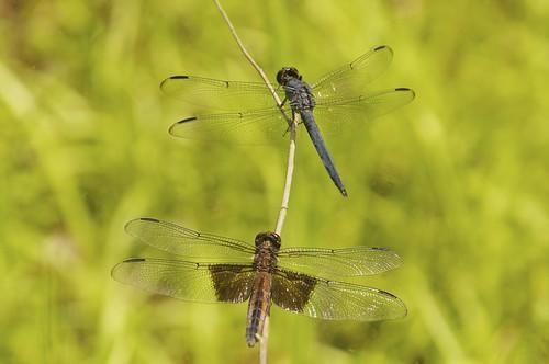 dragonflies insects wv arthropods libellula skimmers odonota plumorchardlake taxonomy:binomial=libellulaincesta taxonomy:binomial=libellulaluctuosa pentaxk7