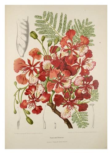 022-Flamboyan-Fleurs, fruits et feuillages choisis de l'ille de Java-1880- Berthe Hoola van Nooten
