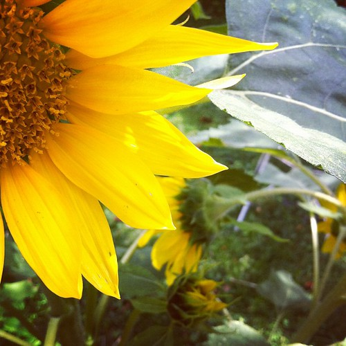 many volunteer sunflowers #organicgarden #urbangarden #lughnasadh #maine