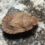 szürkés laposfejű-poloska - Sciocoris microphthalmus