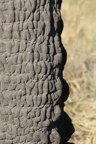 Elephant trunk Okavanga