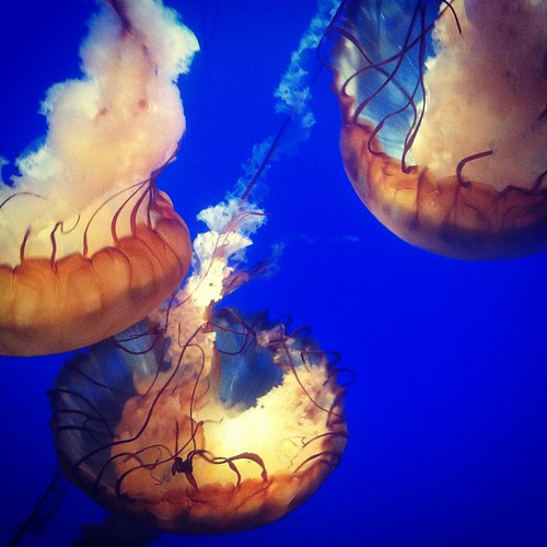 Sea nettle ballgowns.