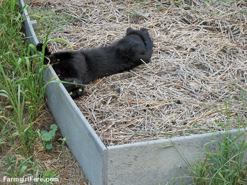 (22-14) Mr. Midnight rolling around in a raised bed - at least there's nothing planted in it - FarmgirlFare.com