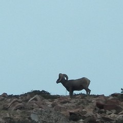 bighorn sheep on Pike's Peak