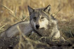 The endangered gray wolf, ma'iingan