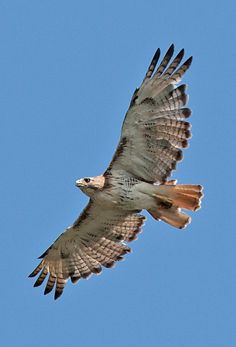 Red-Tailed Hawk in Flight by Evan Animals