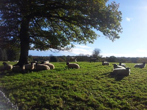 Resting Sheeps